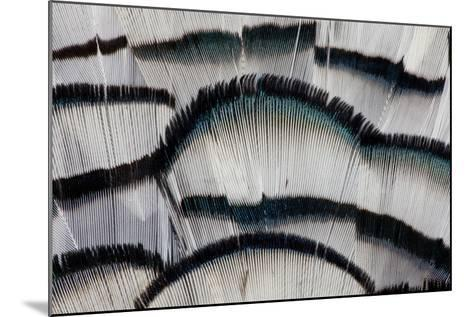 Silver Pheasant Fanned Out Feathers-Darrell Gulin-Mounted Photographic Print