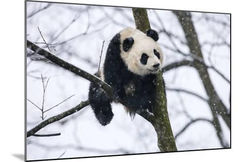 China, Chengdu Panda Base. Baby Giant Panda in Tree-Jaynes Gallery-Mounted Photographic Print
