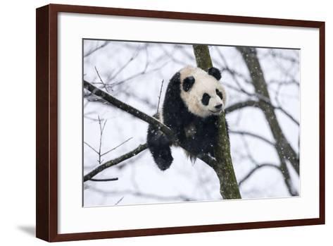 China, Chengdu Panda Base. Baby Giant Panda in Tree-Jaynes Gallery-Framed Art Print