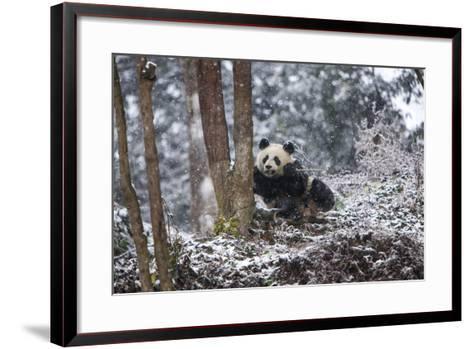 China, Chengdu Panda Base. Baby Giant Panda in Snowfall-Jaynes Gallery-Framed Art Print