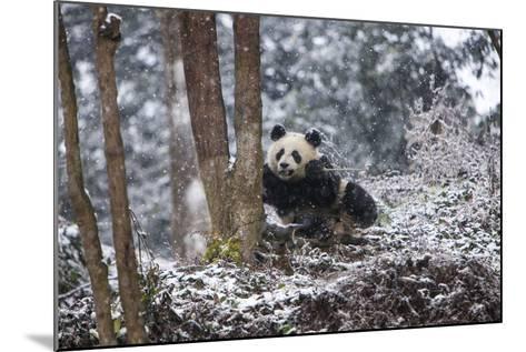 China, Chengdu Panda Base. Baby Giant Panda in Snowfall-Jaynes Gallery-Mounted Photographic Print