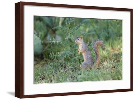 Eastern Fox Squirrel Foraging on Forest Floor-Larry Ditto-Framed Art Print