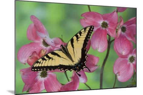 Eastern Tiger Swallowtail-Darrell Gulin-Mounted Photographic Print
