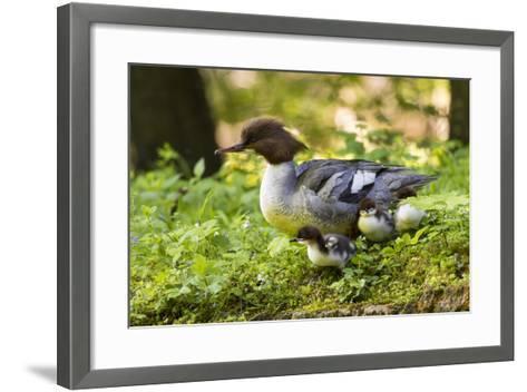 Common Merganser with Chicks. Munich, Bavaria, Germany-Martin Zwick-Framed Art Print