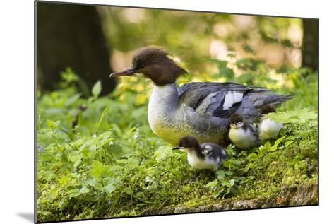 Common Merganser with Chicks. Munich, Bavaria, Germany-Martin Zwick-Mounted Photographic Print