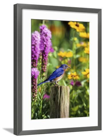 Eastern Bluebird Male on Fence Post Marion County, Illinois-Richard and Susan Day-Framed Art Print