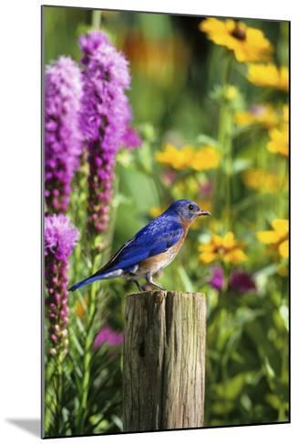 Eastern Bluebird Male on Fence Post Marion County, Illinois-Richard and Susan Day-Mounted Photographic Print