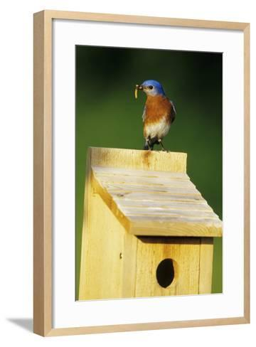 Eastern Bluebird Male with Mealworms at Nestbox Marion County, Illinois-Richard and Susan Day-Framed Art Print