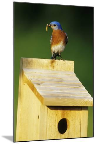 Eastern Bluebird Male with Mealworms at Nestbox Marion County, Illinois-Richard and Susan Day-Mounted Photographic Print