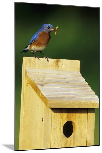 Eastern Bluebird Male with Mealworms at Nestbox Marion, Il-Richard and Susan Day-Mounted Photographic Print