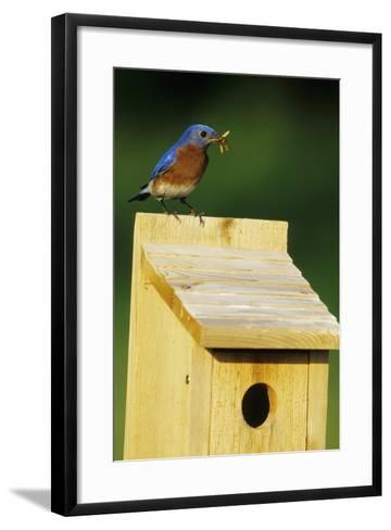 Eastern Bluebird Male with Mealworms at Nestbox Marion, Il-Richard and Susan Day-Framed Art Print