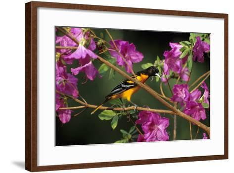 Baltimore Oriole Male on Azalea Bush, Marion, Il-Richard and Susan Day-Framed Art Print