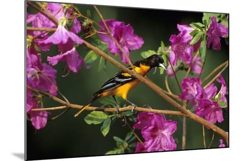 Baltimore Oriole Male on Azalea Bush, Marion, Il-Richard and Susan Day-Mounted Photographic Print