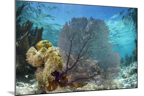 Common Sea Fan, Lighthouse Reef, Atoll, Belize-Pete Oxford-Mounted Photographic Print