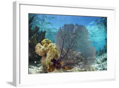 Common Sea Fan, Lighthouse Reef, Atoll, Belize-Pete Oxford-Framed Art Print