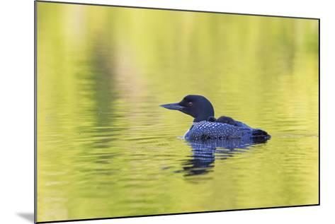Canada, Quebec, Eastman. Common Loon with Sleeping Chick on Back-Jaynes Gallery-Mounted Photographic Print