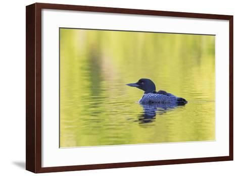 Canada, Quebec, Eastman. Common Loon with Sleeping Chick on Back-Jaynes Gallery-Framed Art Print