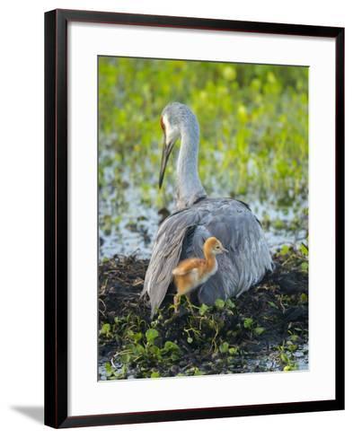Sandhill Crane on Nest with Colt under Wing, Florida-Maresa Pryor-Framed Art Print