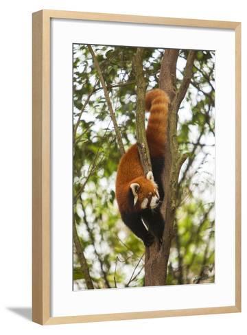 China, Chengdu, Wolong National Natural Reserve. Lesser Panda in Tree-Jaynes Gallery-Framed Art Print
