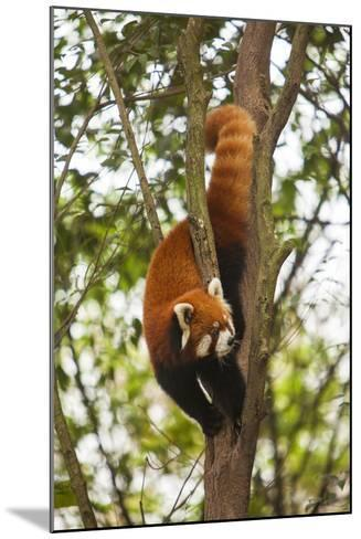 China, Chengdu, Wolong National Natural Reserve. Lesser Panda in Tree-Jaynes Gallery-Mounted Photographic Print