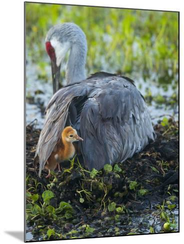 Sandhill Crane on Nest with Colt under Wing, Florida-Maresa Pryor-Mounted Photographic Print
