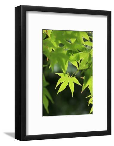 Bright Green Japanese Maple Trees in their Spring Foliage at the Ryouan-Ji Temple, Kyoto, Japan-Paul Dymond-Framed Art Print