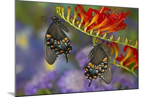 Spicebush Swallowtail-Darrell Gulin-Mounted Photographic Print