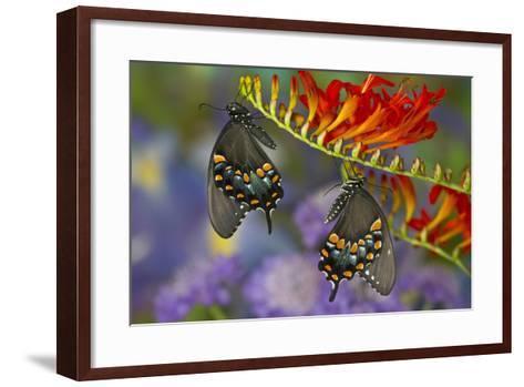 Spicebush Swallowtail-Darrell Gulin-Framed Art Print
