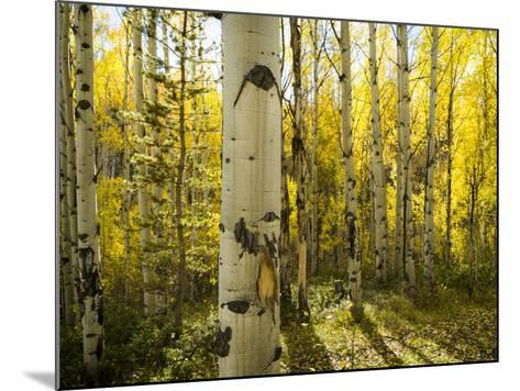Golden Quaking Aspen in Full Fall Color, Kinney Creek, Colorado-Maresa Pryor-Mounted Photographic Print