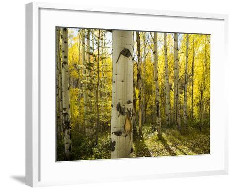 Golden Quaking Aspen in Full Fall Color, Kinney Creek, Colorado-Maresa Pryor-Framed Art Print