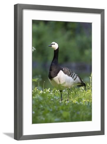 Barnacle Goose Standing in a Green Field. Germany, Bavaria, Munich-Martin Zwick-Framed Art Print