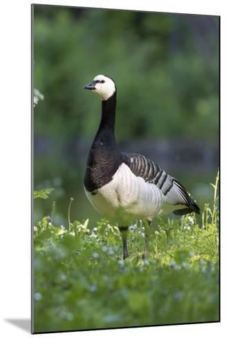 Barnacle Goose Standing in a Green Field. Germany, Bavaria, Munich-Martin Zwick-Mounted Photographic Print