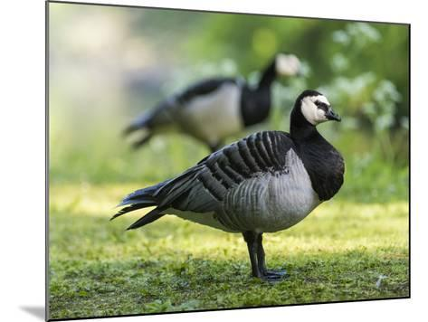 Barnacle Goose Standing in a Green Field. Germany, Bavaria, Munic-Martin Zwick-Mounted Photographic Print
