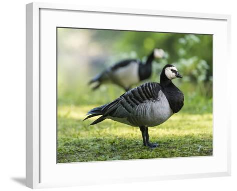 Barnacle Goose Standing in a Green Field. Germany, Bavaria, Munic-Martin Zwick-Framed Art Print