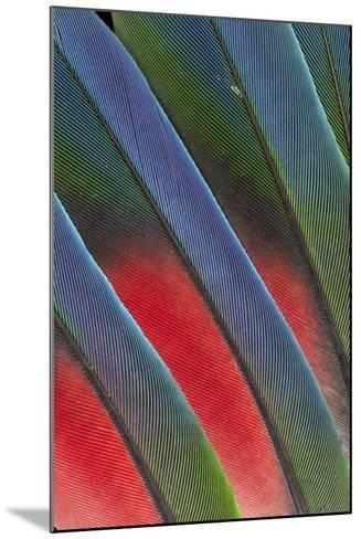 Fanned Out Tail Feathers of the Blue Headed Pionus-Darrell Gulin-Mounted Photographic Print
