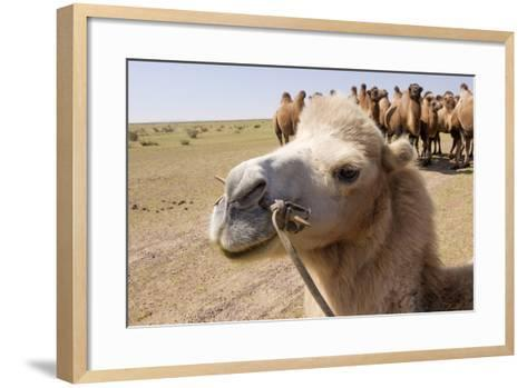Asia, Western Mongolia, Lake Tolbo, Bactrian Camels-Emily Wilson-Framed Art Print