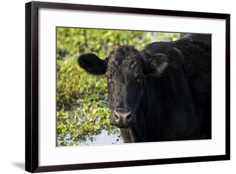 Black Angus Cow, Florida-Maresa Pryor-Framed Art Print