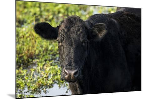 Black Angus Cow, Florida-Maresa Pryor-Mounted Photographic Print