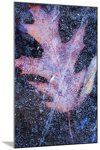 Canada, Quebec, Mount St-Bruno Conservation Park. Red Oak Leaf under Lake Ice-Jaynes Gallery-Mounted Photographic Print