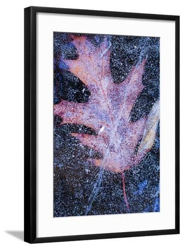 Canada, Quebec, Mount St-Bruno Conservation Park. Red Oak Leaf under Lake Ice-Jaynes Gallery-Framed Art Print