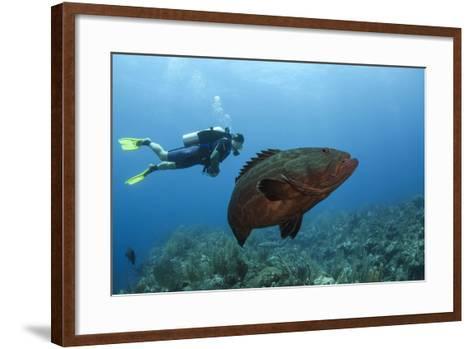 Black Grouper and Diver, Hol Chan Marine Reserve, Belize-Pete Oxford-Framed Art Print