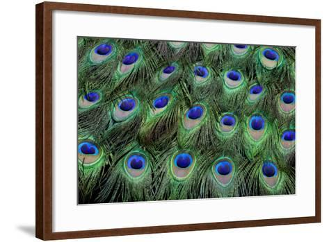 Eye-Spots on Male Peacock Tail Feathers Fanned Out in Colorful Designed Pattern-Darrell Gulin-Framed Art Print