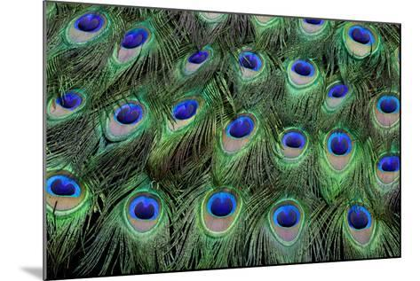 Eye-Spots on Male Peacock Tail Feathers Fanned Out in Colorful Designed Pattern-Darrell Gulin-Mounted Photographic Print