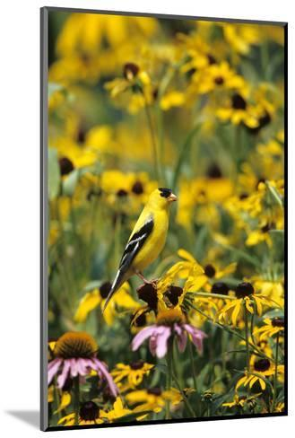 American Goldfinch Male on Black-Eyed SUSAns Marion County, Illinois-Richard and Susan Day-Mounted Photographic Print