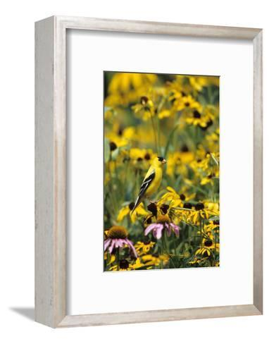 American Goldfinch Male on Black-Eyed SUSAns Marion County, Illinois-Richard and Susan Day-Framed Art Print