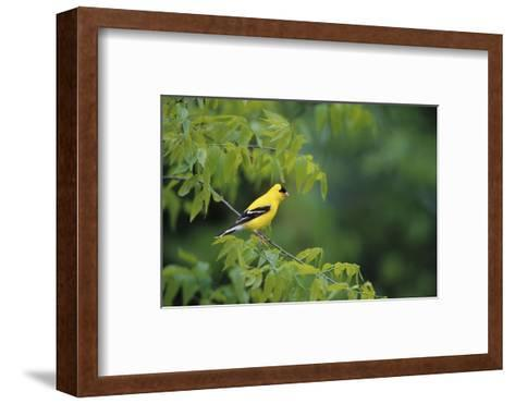 American Goldfinch Male in Common Hackberry Tree, Marion, Il-Richard and Susan Day-Framed Art Print