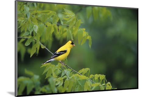 American Goldfinch Male in Common Hackberry Tree, Marion, Il-Richard and Susan Day-Mounted Photographic Print