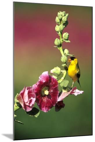 American Goldfinch Male on Hollyhock, Marion, Il-Richard and Susan Day-Mounted Photographic Print