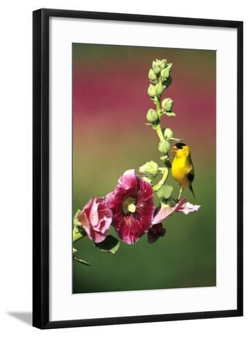 American Goldfinch Male on Hollyhock, Marion, Il-Richard and Susan Day-Framed Art Print