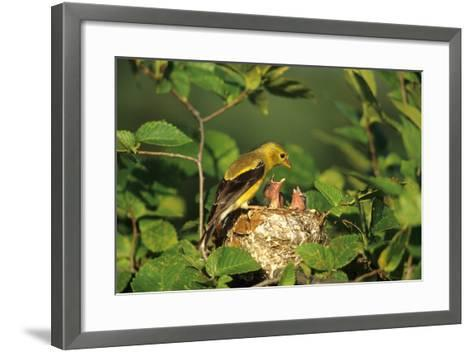 American Goldfinch Female with Nestlings at Nest, Marion, Il-Richard and Susan Day-Framed Art Print